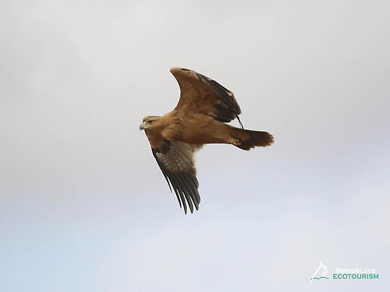 Spanish imperial eagle