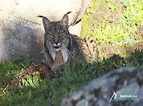 Iberian lynx male resting