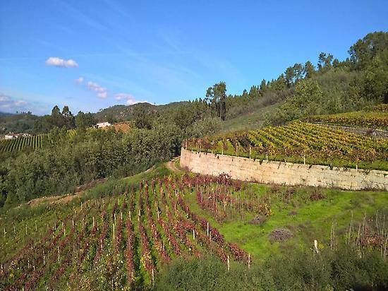 O Ribeiro Vineyards
