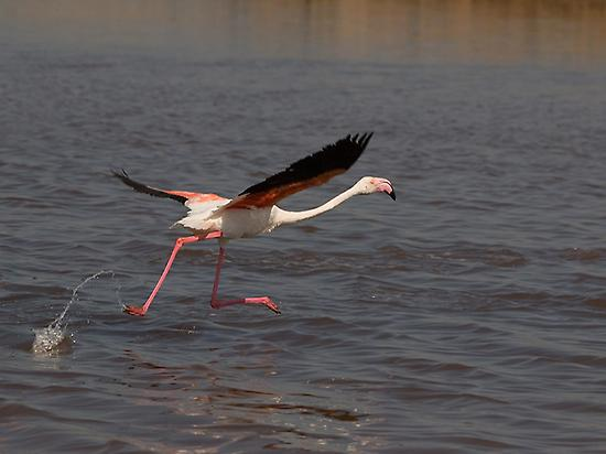 Flamingo at the Odiel Marshes