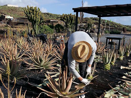 Besondere Pflege der Aloe Vera Pflanze