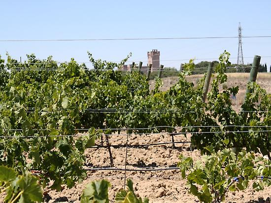 White grapes varieties garden