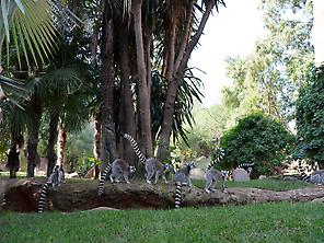 Tour at Madagascar Island, with lemurs