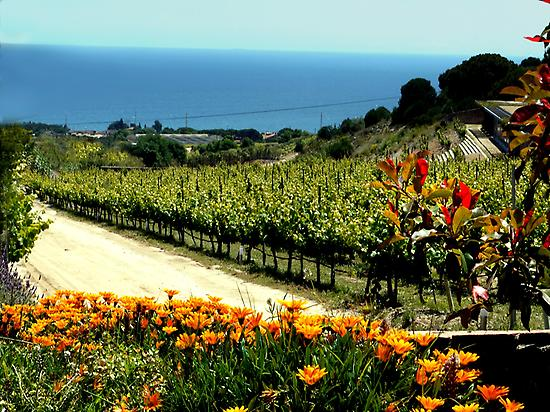 Alta Alella's vineyard between sea & sky