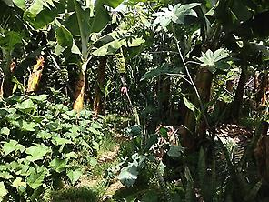 Exuberance of banana plantation.