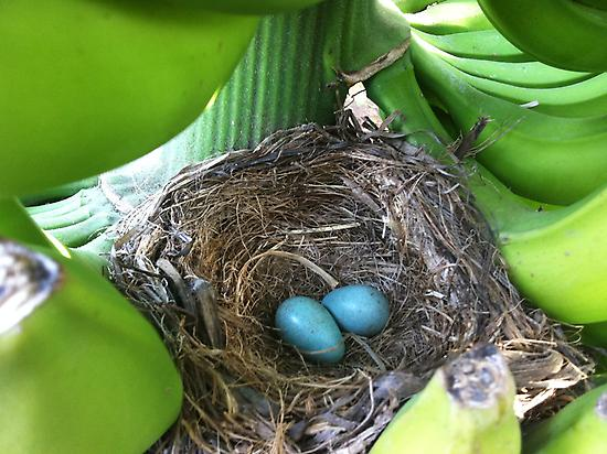 Blackbird's Nest.