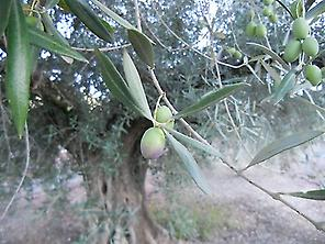 Discover the olive forest of Jaén