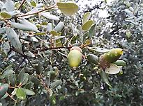 Bellotas (acorns), fruit of the oaks