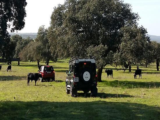 Bull Safari in Dehesa of Extremadura