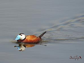 White-headed Duck (Oxyura leucocephala)