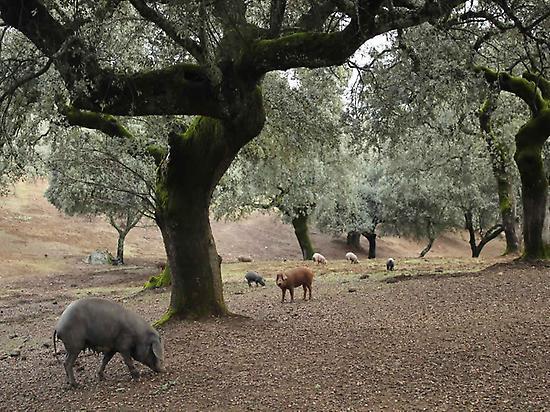 Iberian pigs in the pasture