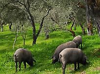 Iberian Pig Tour