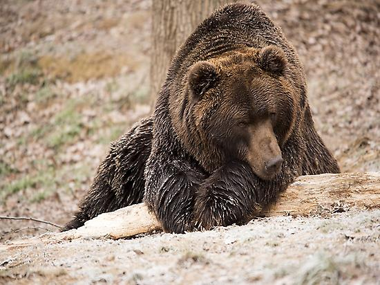 Why is called Bear