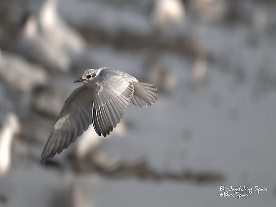Whiskered Tern