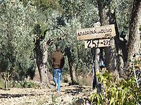 Olive trees of www.adoptanolivetree.org