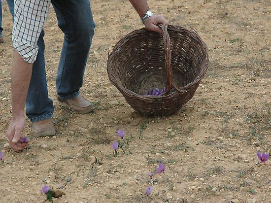 COLLECTION OF SAFFRON ON THE FIELD
