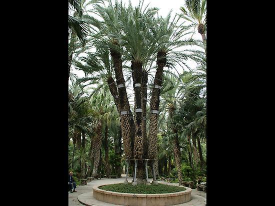 Imperial Palm Tree at Huerto del cura