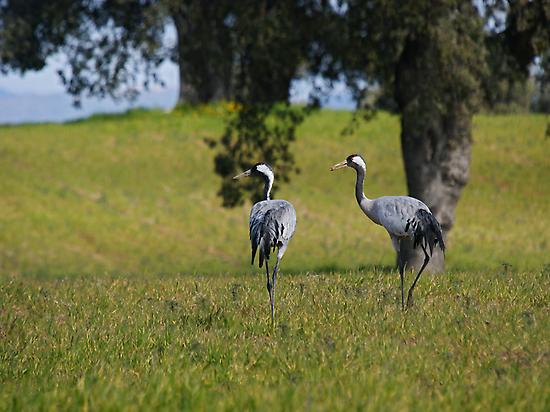 CRANES BY THE RIVER TIETAR VALLEY