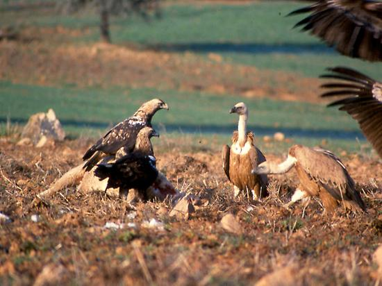 IMPERIAL EAGLES AND GRIFFON VULTURES