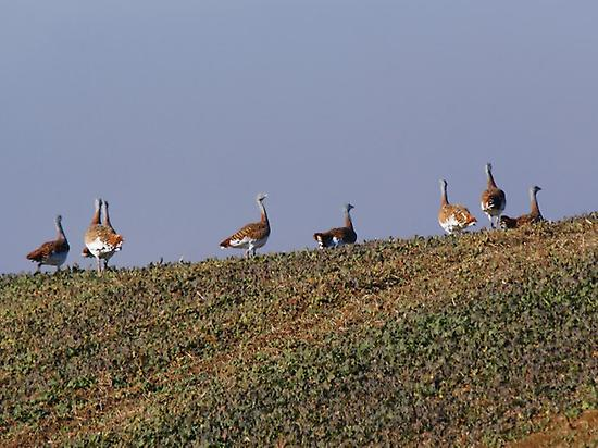 GREAT BUSTARDS BY THE STEPPE