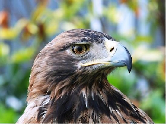 ENDANGERED IMPERIAL EAGLE