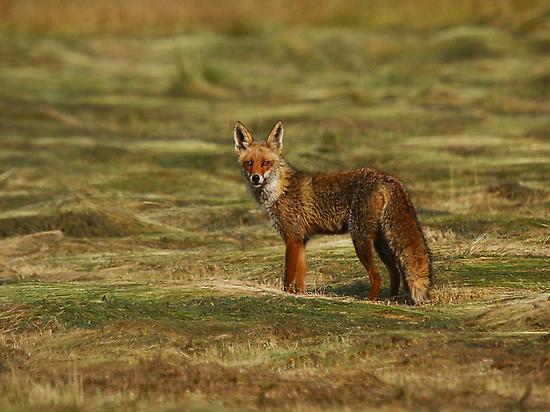 RED FOX NEAR CABAÑEROS