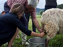 Milking sheep