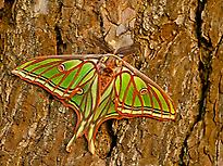 Male of the Spanish Moon Moth.