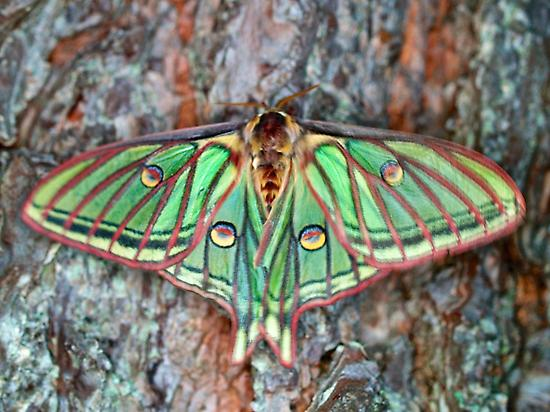 Female of the Spanish Moon Moth.