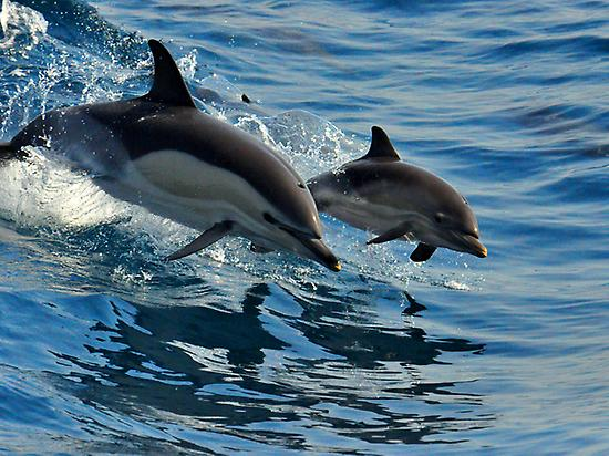 Dolphins from a boat of White Tenerife