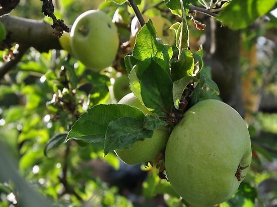 Manzanas en La Quinta del Chocolatero