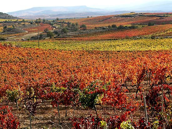 Panoramica de Viñedo Riojano. Otoño