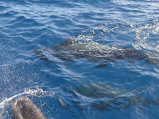 Whalewatching Tenerife Sur