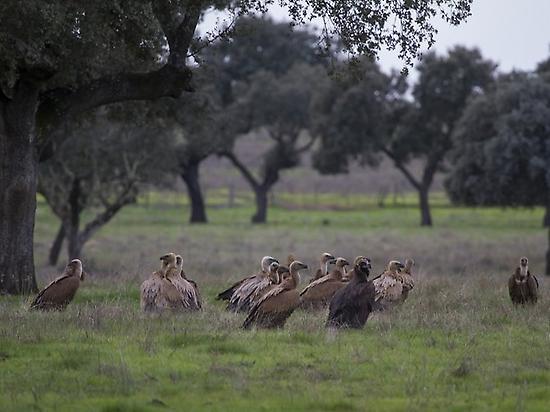 Birding in Sierra Sierra de San Pedro