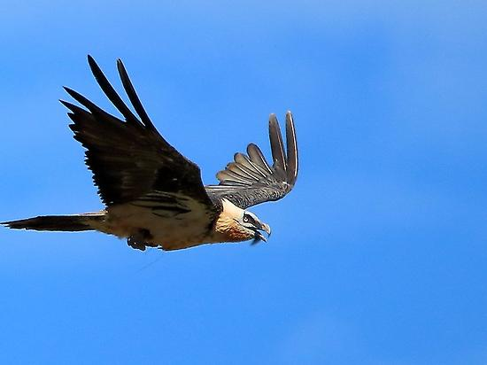 Bearded vulture watching in Huesca
