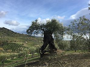 Millenary olive trees