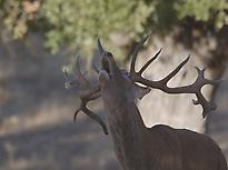 The Belowing of the Deer in Extremadura