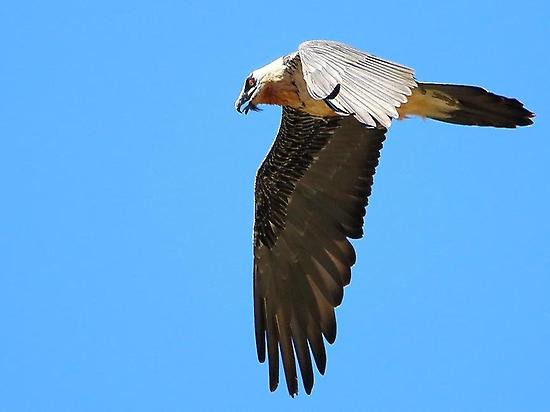 Birding bearded vulture in Huesca