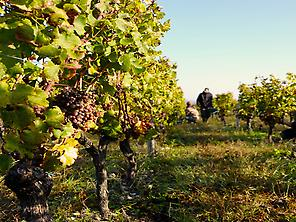 Harvest during our bike tour