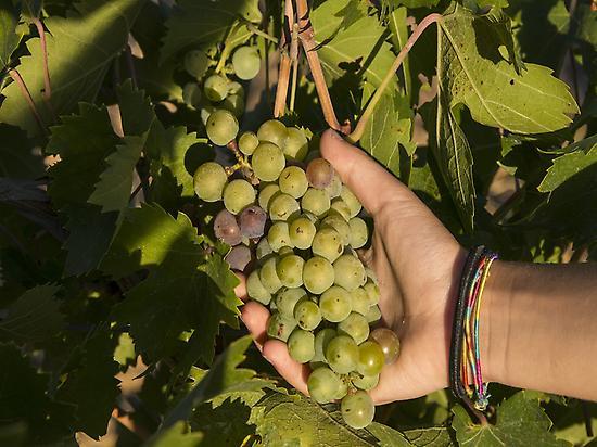 Dégustation de raisin dans les vignes