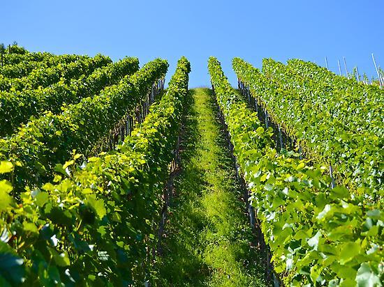 Paseo entre los viñedos del Penedès